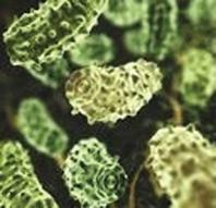 Prevotella-Histicola